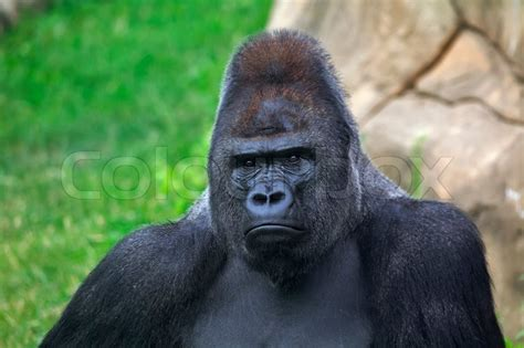 Kaos 3d Genethics Gorilla Black is this the most ape looking black you ve seen