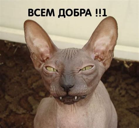 Sphynx Cat Meme - hairless cat sphynx cats pinterest