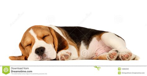 selling puppies at 6 weeks puppy beagle stock photos image 10882993