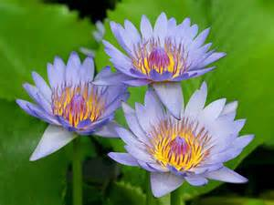 wallpapers water lily flowers wallpapers