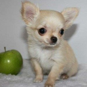 apple chihuahua puppies for sale the world s catalog of ideas