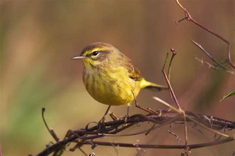 palm warbler audubon field guide