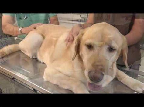 golden retriever limping back leg a golden retriever has a swollen left hind limb pt 1 doovi