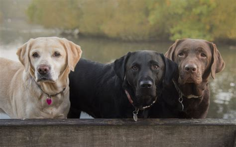 labrador colors meet the intelligent and friendly chocolate labradors