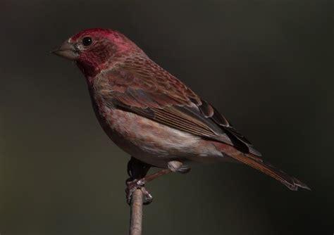 purple finch san diego bird spot