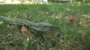 Snakes In Brisbane Backyards 7 30 Abc