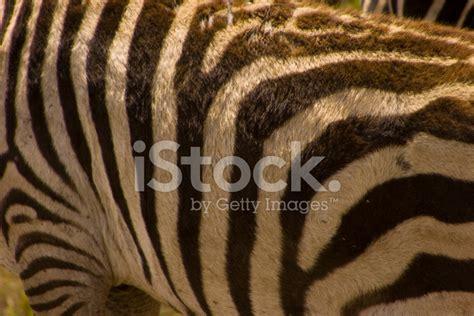 abstract zebra pattern abstract zebra pattern stock photos freeimages com
