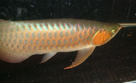 Pin Arwana Murah On pin arowana ikan hias kebanggaan indonesia