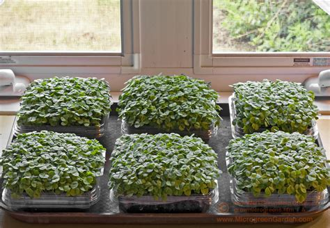 Microgreens Benih Basil Sprout Micro Green Basil Kemangi Import how to grow microgreens photograph tutorials