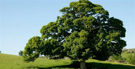 the english oak