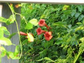 trumpet vine trellis 10 best flowering vines for arches pergola arbor and