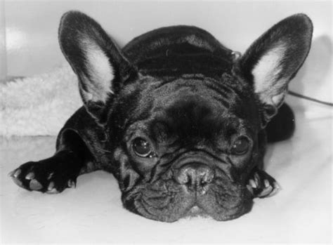 dogs with big ears with big ears by heinz krimmer