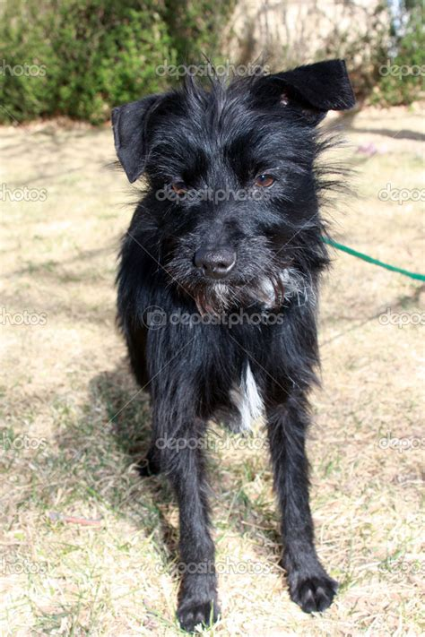 wire haired dogs depositphotos 9761516 black small wire haired jpg 682 215 1023 my puppy dogs