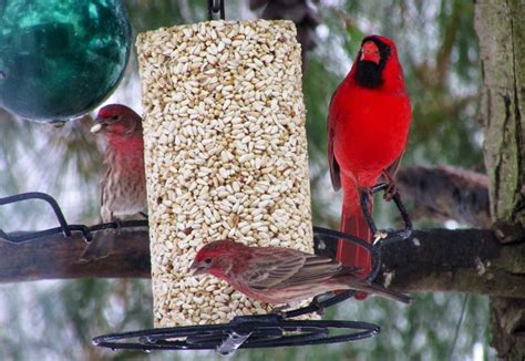 best bird seed for cardinals bird cages