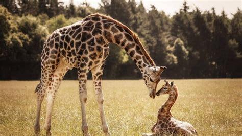 google imagenes de jirafas jirafas bebe la madre fondos de pantalla hd fondos de