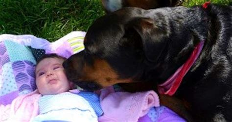 rottweiler dangerous 30 reasons why rottweilers are the most dangerous pets 30 is so scary