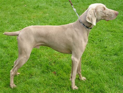 weimaraner colors file weimaraner wb jpg wikimedia commons