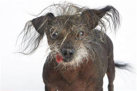 the ugliest pug pug mugs the world s ugliest contest 2013