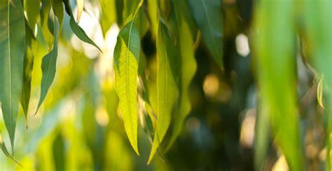 Living Eucalyptus Radiata eucalyptus radiata essential living essential oils