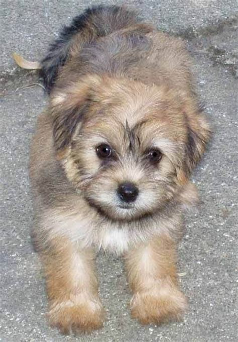 maltese yorkie mix hair 8 facts to know before looking yorkie maltese mix 10 interesting facts that you must