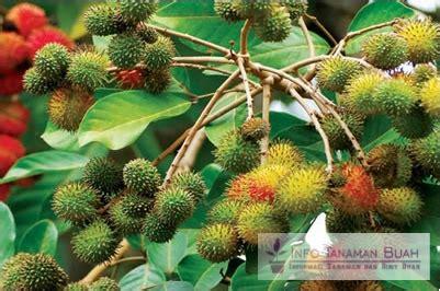 Bibit Buah Rambutan Unggul bibit tanaman buah rambutan rapiah jenis rambutan unggul