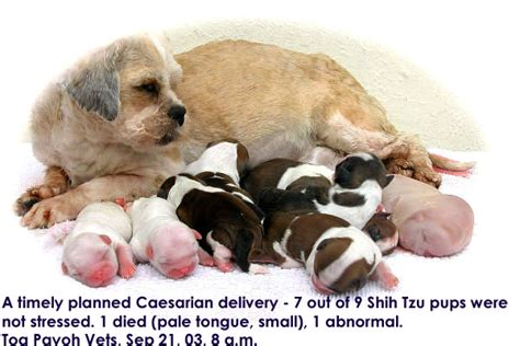 how big are shih tzu puppies at birth 0829asingapore veterinary cocker spaniel nicitans eye education stories published