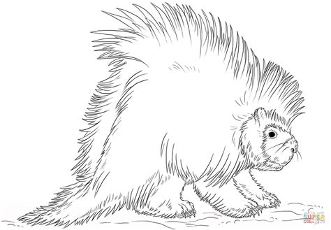 North American Porcupine Coloring Page Free Printable Porcupine Coloring Page
