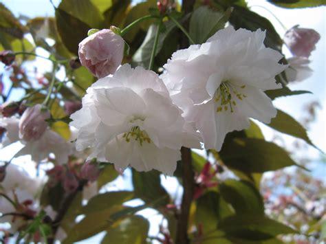 file prunus serrulata flowers close up jpg