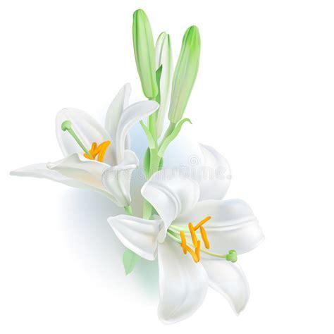 fiore giglio bianco giglio bianco lilium candidum illustrazione vettoriale