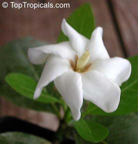 Sale Pm Gumpaste Bunga Natal Pmbntl gardenia brighamii hawaiian gardenia nau toptropicals
