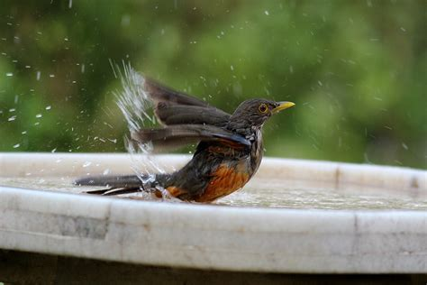 attracting backyard birds keep your bird bath clean and safe this summer the