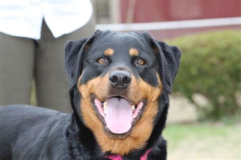 cheap rottweiler puppies best 20 rottweiler ideas on rottweilers baby rottweiler and