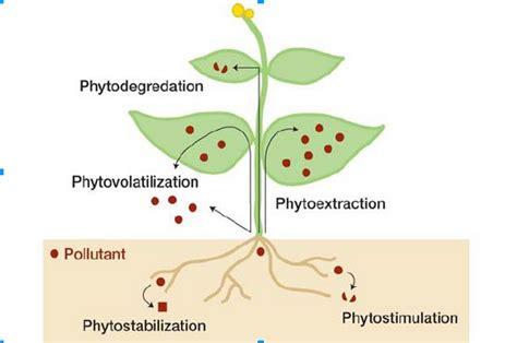 Phytoremediation: The future of Environmental Remediation