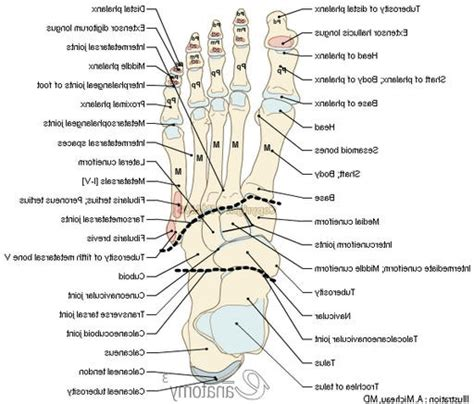 diagram of anatomy foot anatomy bones human anatomy diagram