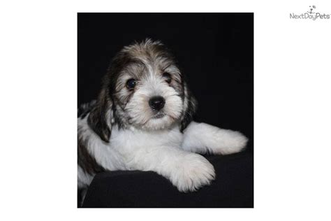 petit basset griffon vendeen puppies for sale petit basset griffon vendeen puppy for sale near sioux city iowa a2fdcbc5 6fb1