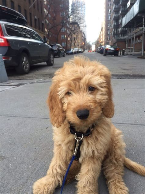 goldendoodle puppy how much food 25 best mini goldendoodle ideas on