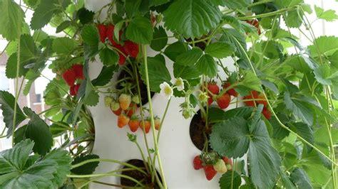 come creare un orto in terrazzo creare un orto orto sul balcone coltivare ortaggi