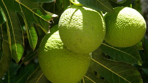 Built In Desk Breadfruit A Tropical Superfood Could Help The World S