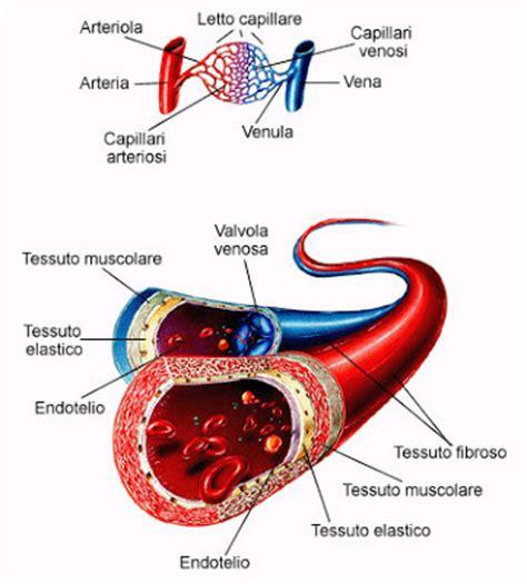 lunghezza vasi sanguigni le nostre attivit 224 pi 249 interessanti apparato