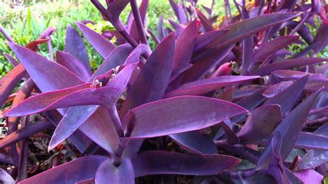 tradescantia pallida wandering jew purple heart