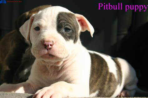 puppy pitbull what is difference between american bulldog and pitbull difference between