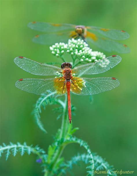 doodle god nedir 86 best dragonflies images on dragonflies