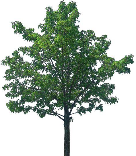 forest render webmaster mediumoaktree ilustracije full 2251 19321 png