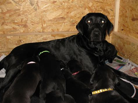 black puppies for sale pedigree black labrador puppies for sale shildon county durham pets4homes