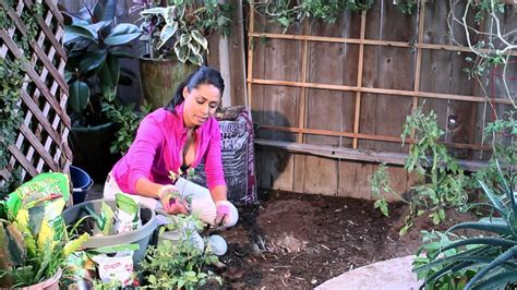 Epsom Salt And Gardening by How To Plant Tomatoes Using Bone Meal Sugar Epsom Salts