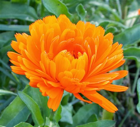 new year marigold flower honey bee holistics calendula you met this