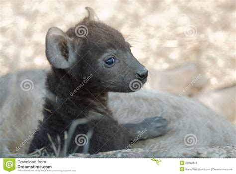 hyena puppies hyena puppy royalty free stock images image 27032819