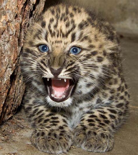 s leopard lart perski i lart amurski dinoanimals pl