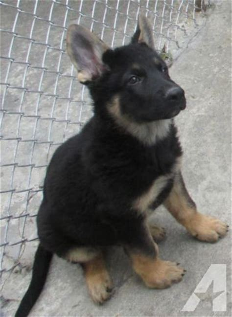 bones for puppies 8 weeks akc large bone german shepherd puppies 10 weeks for sale in bloomingburg new york