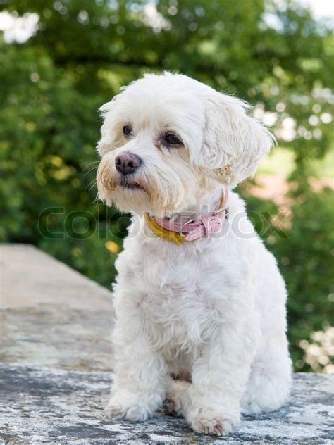 havanese clipped best 25 havanese grooming ideas only on havanese puppies happy